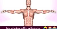 Human interactive muscles illustration